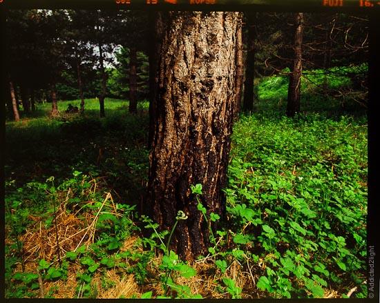 Fujichrome Velvia - Ferns in the Sila Grande forest