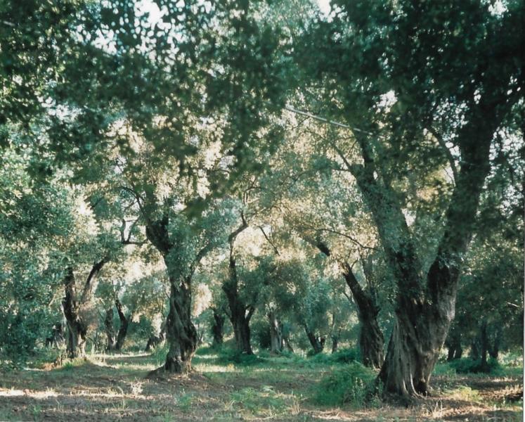 Olive tree, P.di Gioia Tauro